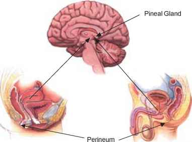 The Perineum Pineal Gland