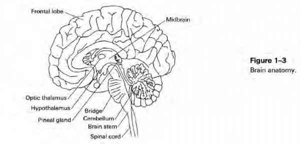 Images Pineal Gland Midbrain